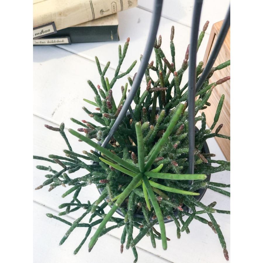 サボテン リプサリス バルチェリー 3.5号吊り鉢 Rhipsalis burchelli planchu 02