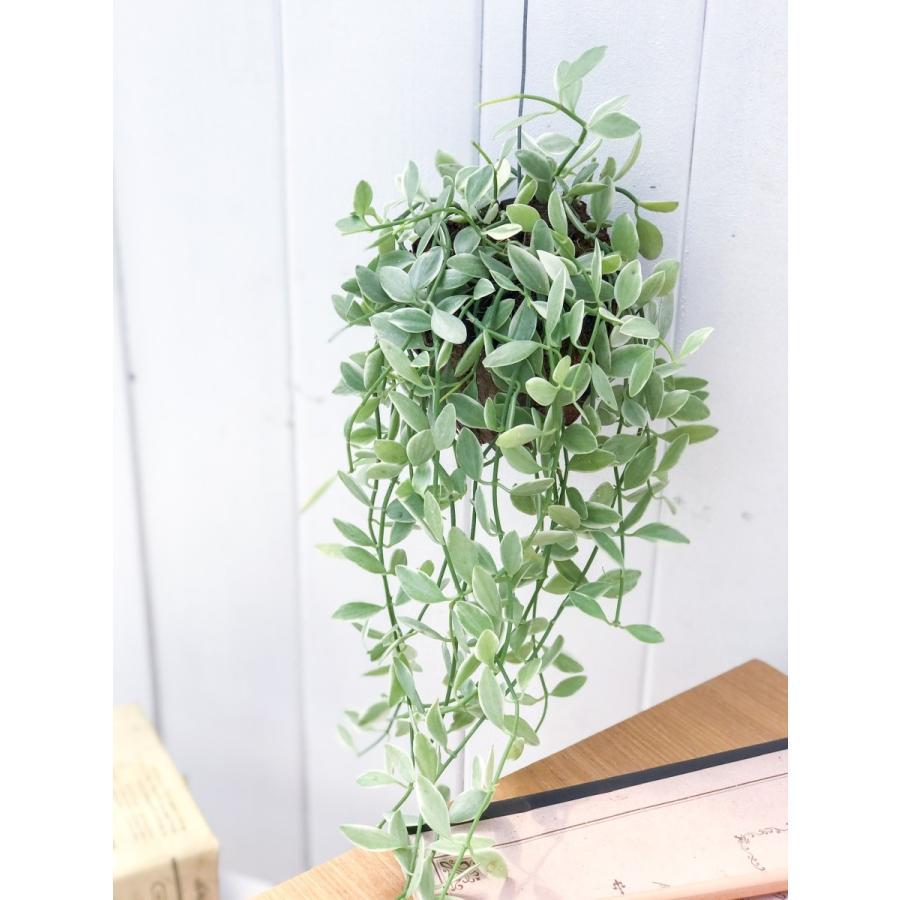 多肉植物 ディスキディア エメラルド 吊り下げタイプ Dischidia bengalensis 'variegata' planchu