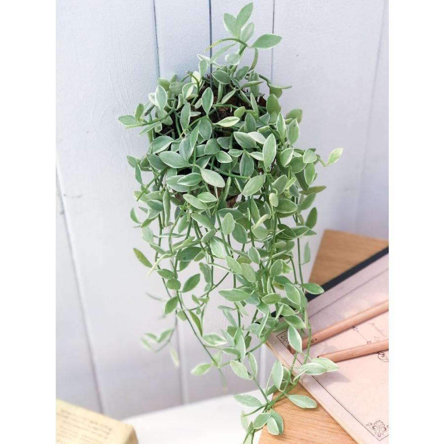 多肉植物 ディスキディア エメラルド 吊り下げタイプ Dischidia bengalensis 'variegata' planchu 02