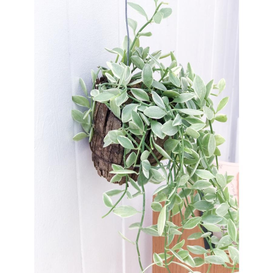 多肉植物 ディスキディア エメラルド 吊り下げタイプ Dischidia bengalensis 'variegata' planchu 03