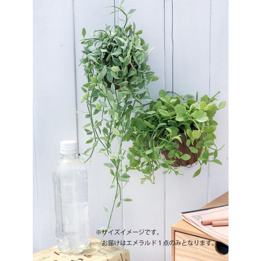 多肉植物 ディスキディア エメラルド 吊り下げタイプ Dischidia bengalensis 'variegata' planchu 04
