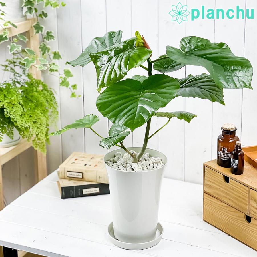観葉植物 フィカス ウンベラータ 6号鉢 Ficus umbellata|planchu