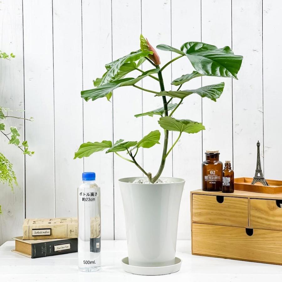 観葉植物 フィカス ウンベラータ 6号鉢 Ficus umbellata|planchu|03