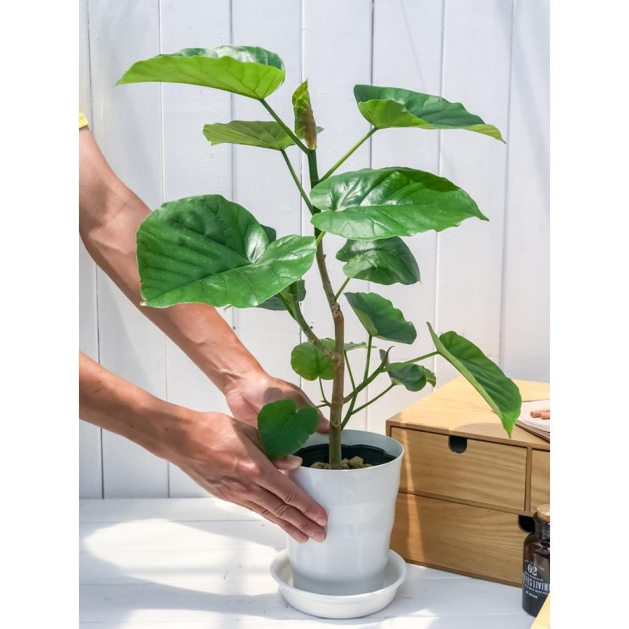 観葉植物 フィカス ウンベラータ 6号鉢 Ficus umbellata|planchu|07