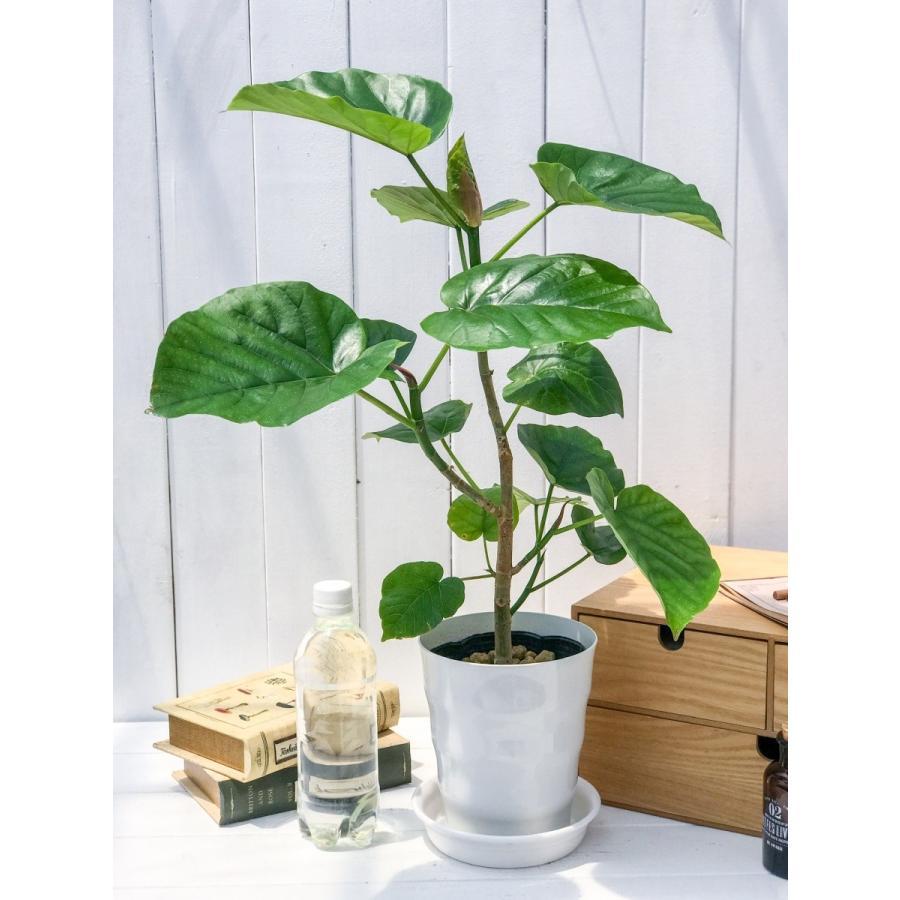 観葉植物 フィカス ウンベラータ 6号鉢 Ficus umbellata|planchu|08
