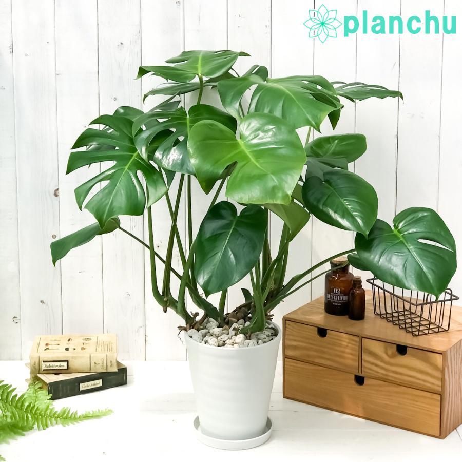 観葉植物 モンステラ 6号鉢 受け皿付き 育て方説明書付き Monstera planchu