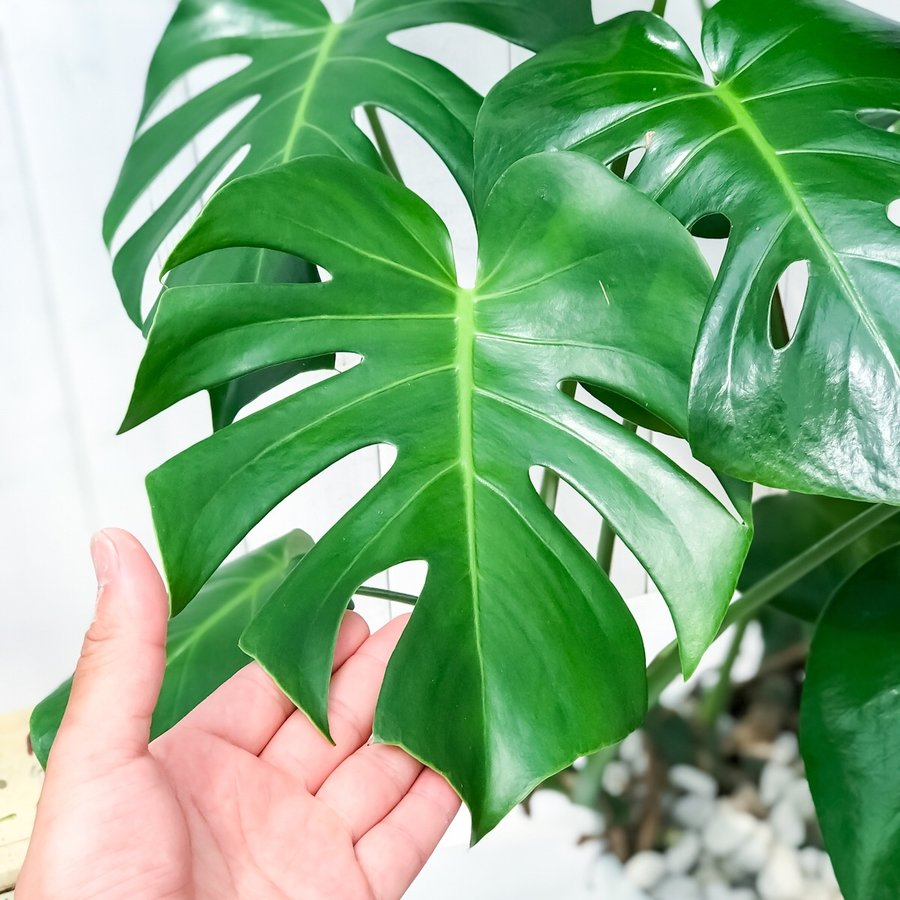 観葉植物 モンステラ 6号鉢 受け皿付き 育て方説明書付き Monstera planchu 04