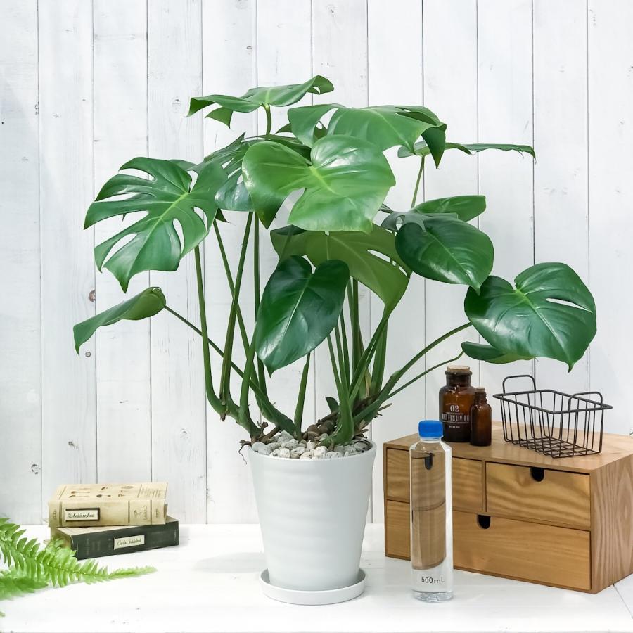 観葉植物 モンステラ 6号鉢 受け皿付き 育て方説明書付き Monstera planchu 05