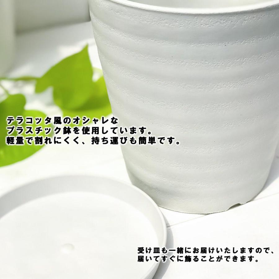 観葉植物 モンステラ 6号鉢 受け皿付き 育て方説明書付き Monstera planchu 06