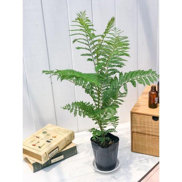 観葉植物 ジャカランダ ミモシフォリア 3号ポット Jacaranda mimosifolia planchu