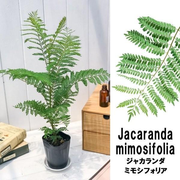 観葉植物 ジャカランダ ミモシフォリア 3号ポット Jacaranda mimosifolia planchu 02
