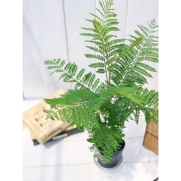 観葉植物 ジャカランダ ミモシフォリア 3号ポット Jacaranda mimosifolia planchu 03