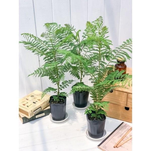 観葉植物 ジャカランダ ミモシフォリア 3号ポット Jacaranda mimosifolia planchu 05