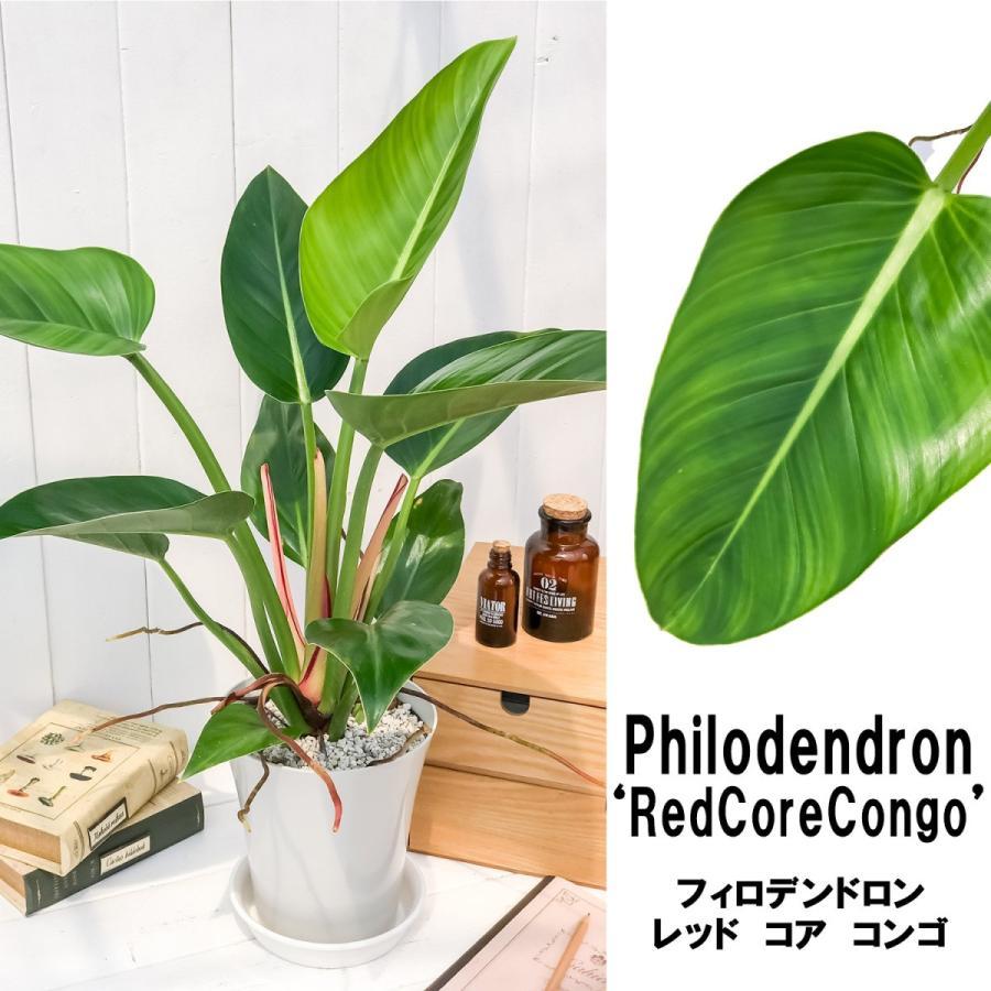 観葉植物 フィロデンドロン レッドコアコンゴ 6号鉢 Philodendron 'Red Core Congo'|planchu
