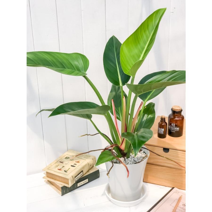 観葉植物 フィロデンドロン レッドコアコンゴ 6号鉢 Philodendron 'Red Core Congo'|planchu|02