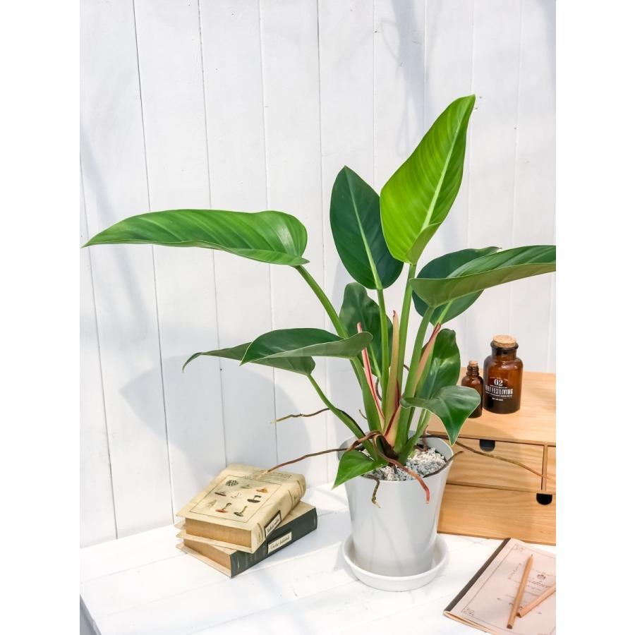 観葉植物 フィロデンドロン レッドコアコンゴ 6号鉢 Philodendron 'Red Core Congo'|planchu|04