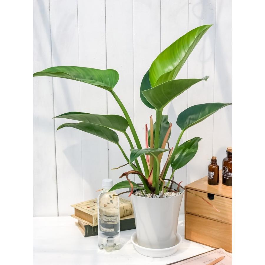 観葉植物 フィロデンドロン レッドコアコンゴ 6号鉢 Philodendron 'Red Core Congo'|planchu|06
