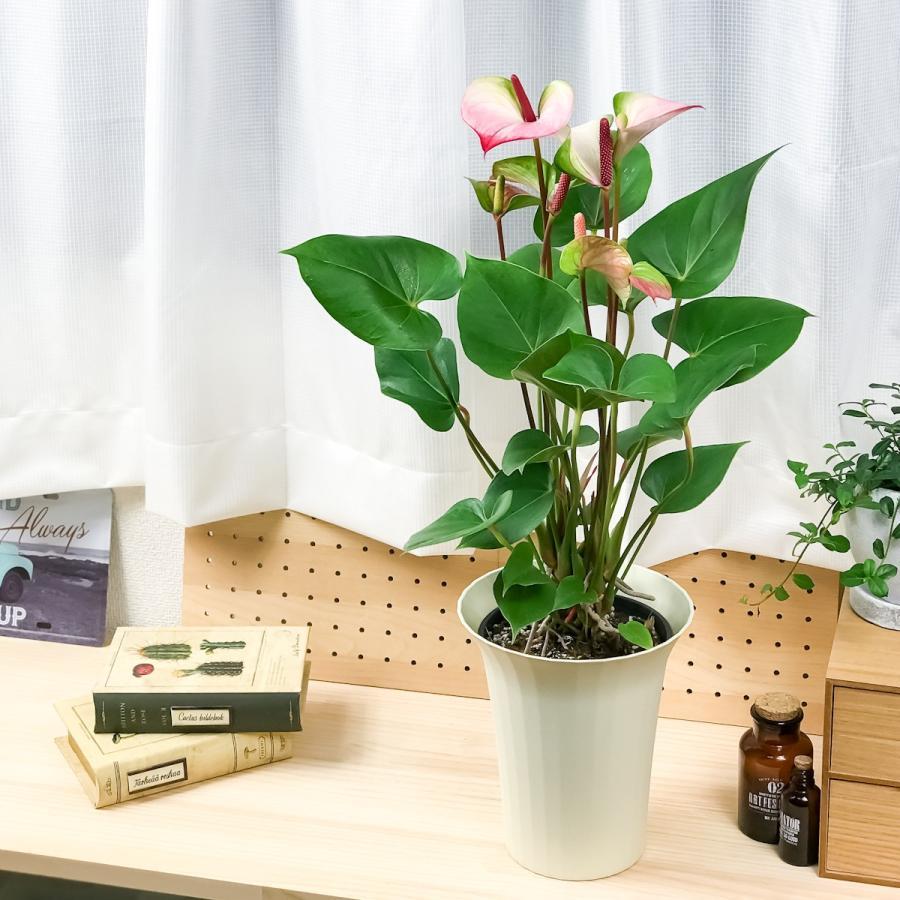 観葉植物 アンスリウム プリンセス アマリアエレガンス 6号鉢 底面吸水鉢タイプ Anthurium andraeanum アンスリューム 鉢花 アンスラ Anthura|planchu|02