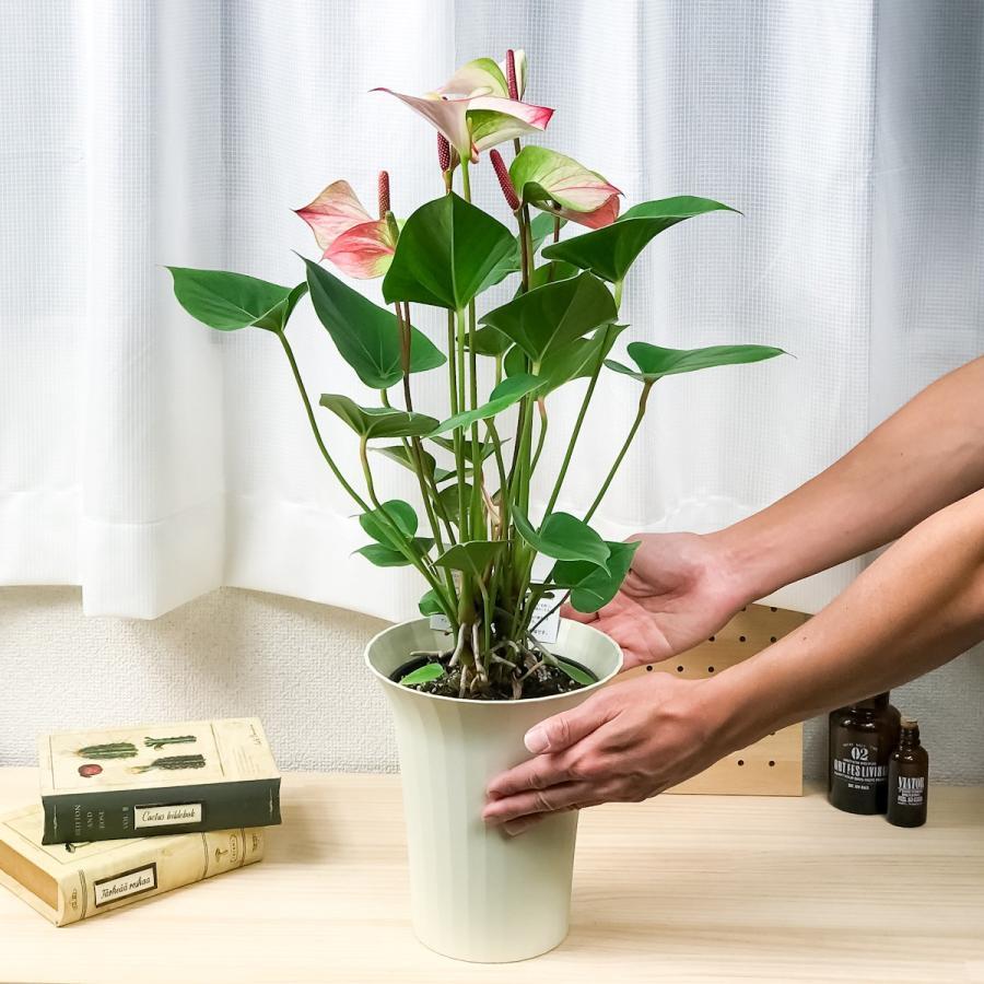 観葉植物 アンスリウム プリンセス アマリアエレガンス 6号鉢 底面吸水鉢タイプ Anthurium andraeanum アンスリューム 鉢花 アンスラ Anthura|planchu|04
