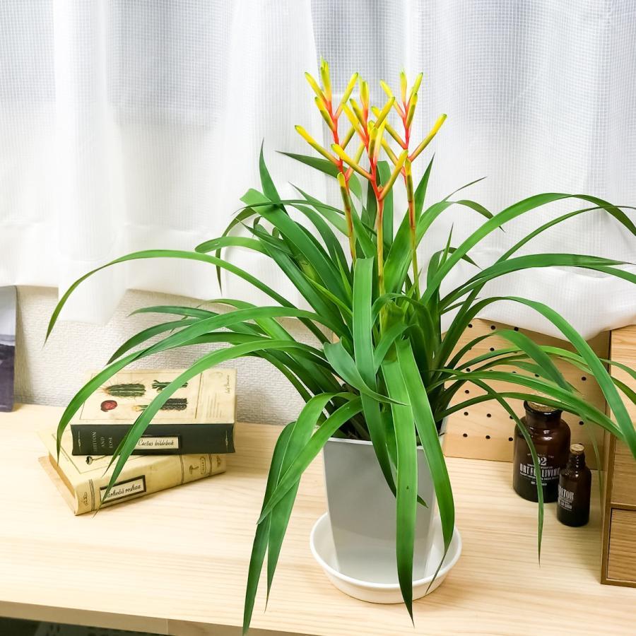 観葉植物 ブロメリア グズマニア ディシティフローラ メジャー 4.5号鉢 開花終了株 受け皿付き Guzmania dissitiflora 'Major'|planchu|02