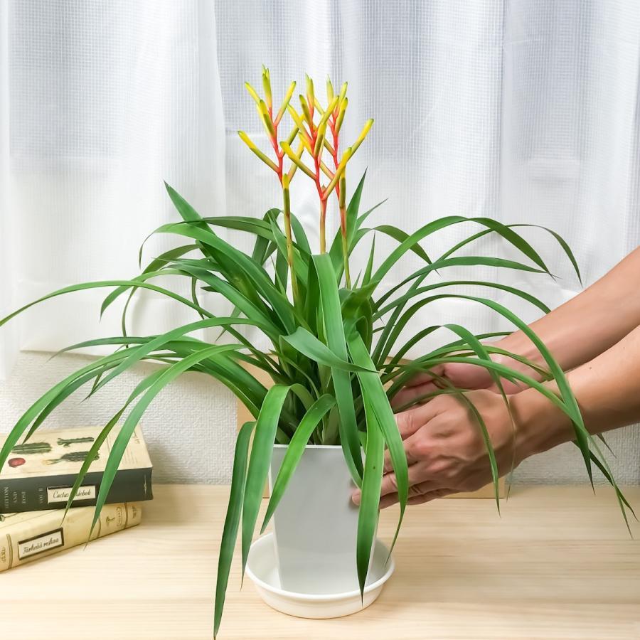 観葉植物 ブロメリア グズマニア ディシティフローラ メジャー 4.5号鉢 開花終了株 受け皿付き Guzmania dissitiflora 'Major'|planchu|06