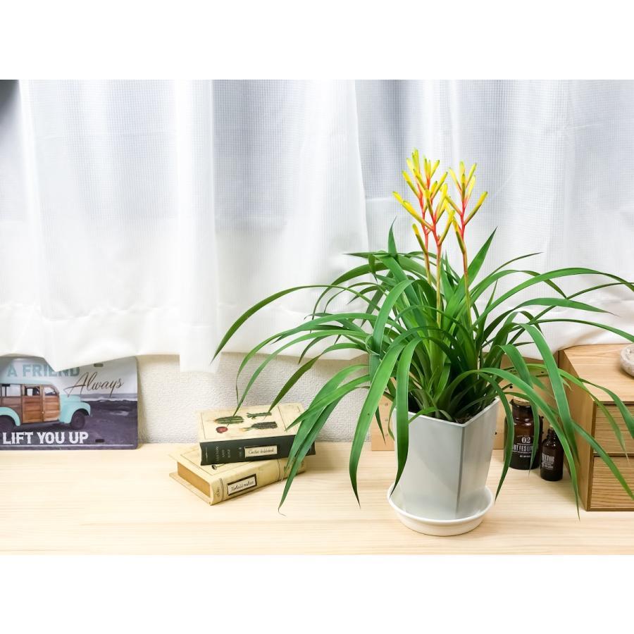 観葉植物 ブロメリア グズマニア ディシティフローラ メジャー 4.5号鉢 開花終了株 受け皿付き Guzmania dissitiflora 'Major'|planchu|07