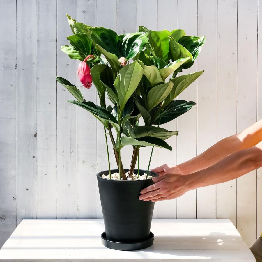 熱帯花木 メディニラ マグニフィカ フラメンコ 8号鉢 開花株 受け皿付き Medinilla magnifica 'Flamenco' 観葉植物 鉢花|planchu|05