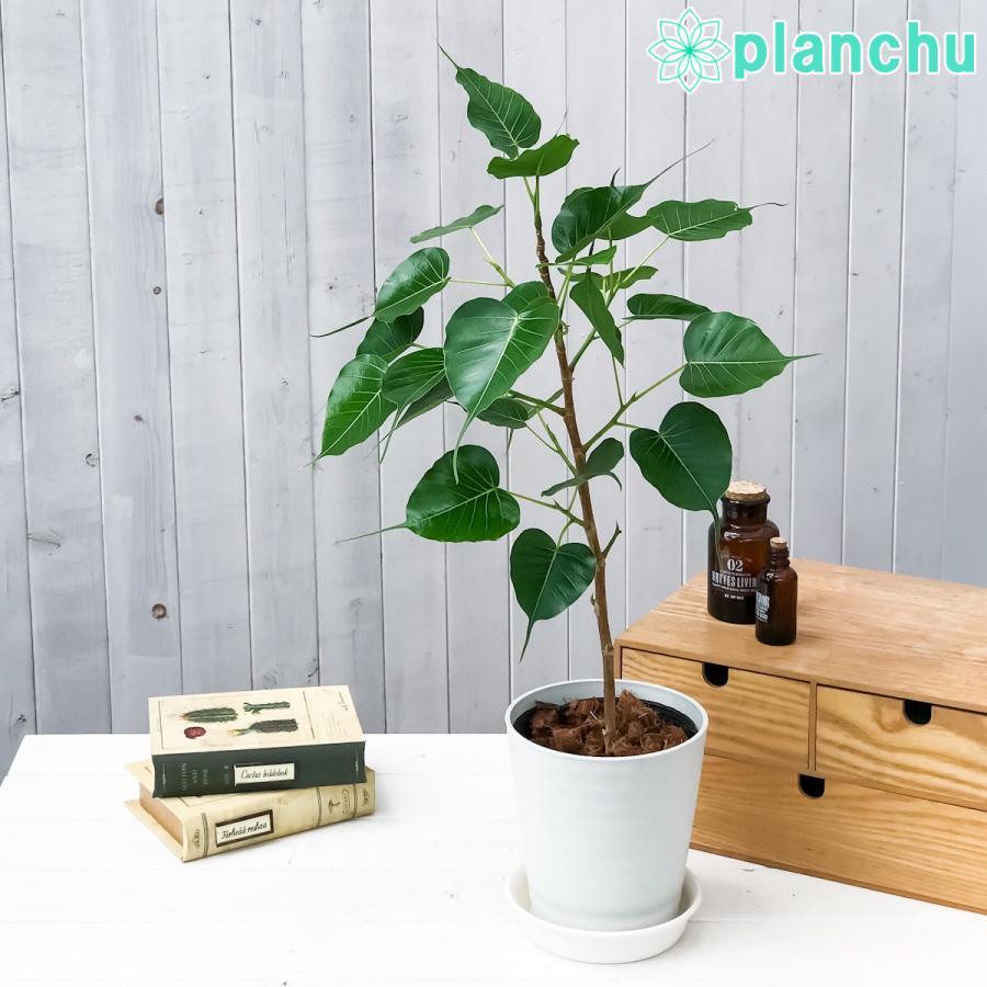 観葉植物 インドボダイジュ フィカス レリジオーサ 5号鉢 受け皿付き 説明書付き Ficus religiosa 印度菩提樹 テンジクボダイジュ|planchu