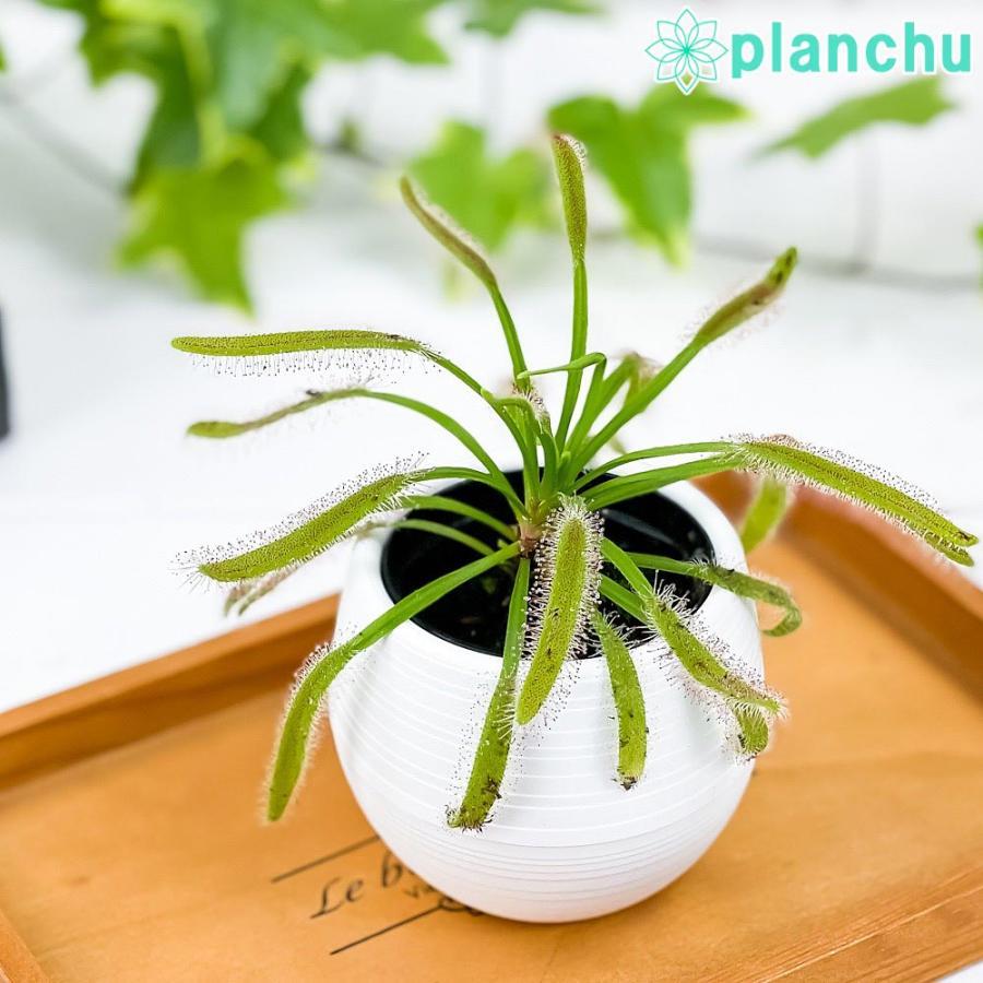 食虫植物 モウセンゴケ ドロセラ カペンシス 赤花 2号鉢 育て方説明書付き Drosera capensis アフリカナガバモウセンゴケ planchu