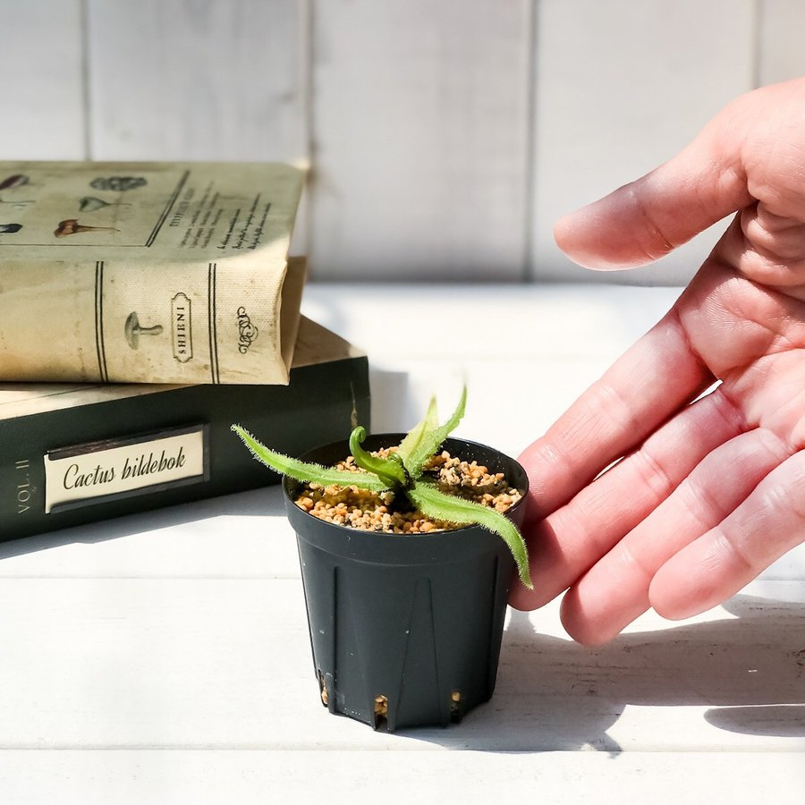 食虫植物 モウセンゴケ ドロセラ アデラエ 2号鉢 Drosera adelae|planchu|05