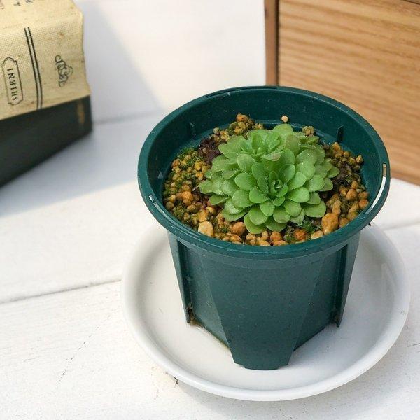 食虫植物 ムシトリスミレ ピンギキュラ 福娘 2.5号鉢 Pinguicula|planchu