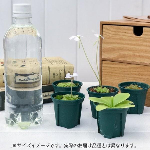食虫植物 ムシトリスミレ ピンギキュラ ラウエアナ CP1 2号鉢 Pinguicula laueana planchu 03