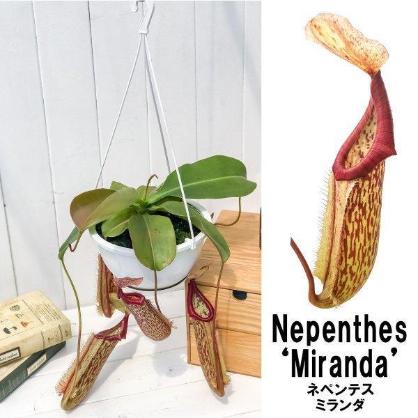 食虫植物 ウツボカズラ ネペンテス ミランダ 5号吊り鉢 育て方説明書付き Nepenthes 'Miranda'|planchu|02