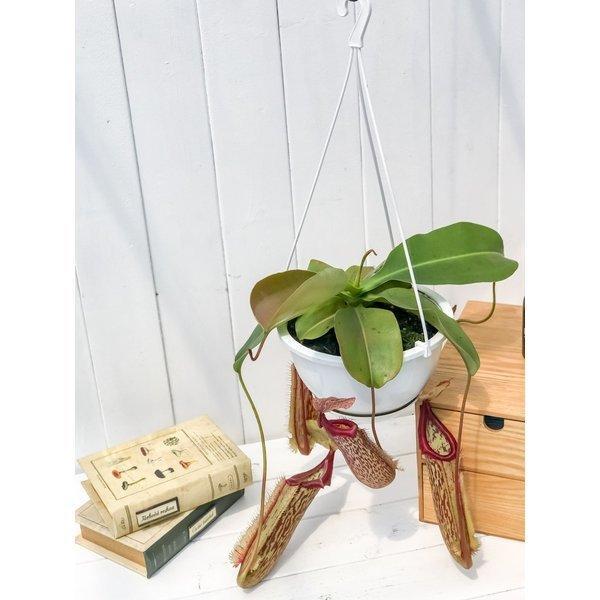 食虫植物 ウツボカズラ ネペンテス ミランダ 5号吊り鉢 育て方説明書付き Nepenthes 'Miranda'|planchu|03