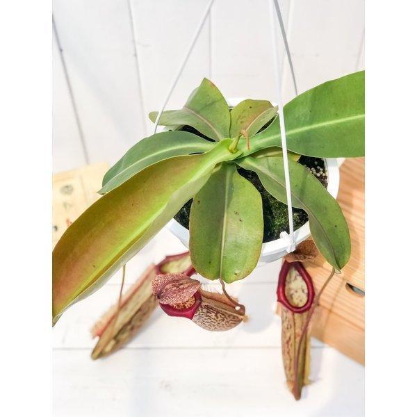 食虫植物 ウツボカズラ ネペンテス ミランダ 5号吊り鉢 育て方説明書付き Nepenthes 'Miranda'|planchu|04