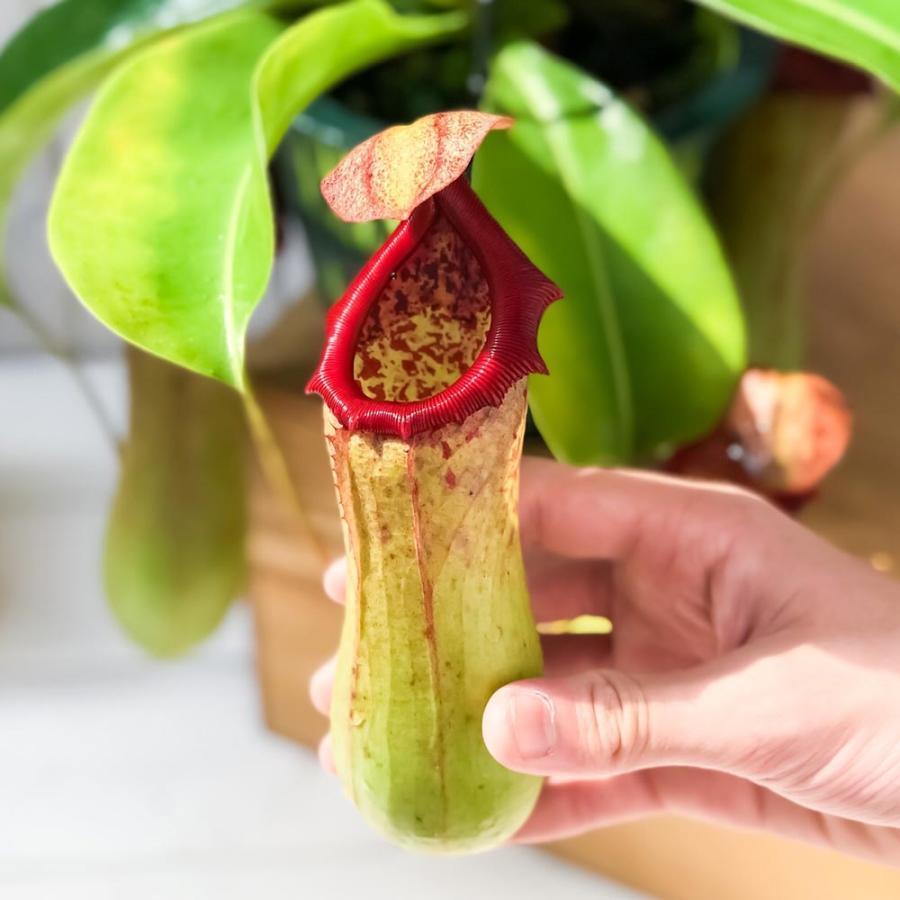 食虫植物 ウツボカズラ ネペンテス ベントリコーサ レッド × トランカータ 5号吊り鉢 Nepenthes ventricosa × truncata 育て方説明書付き|planchu