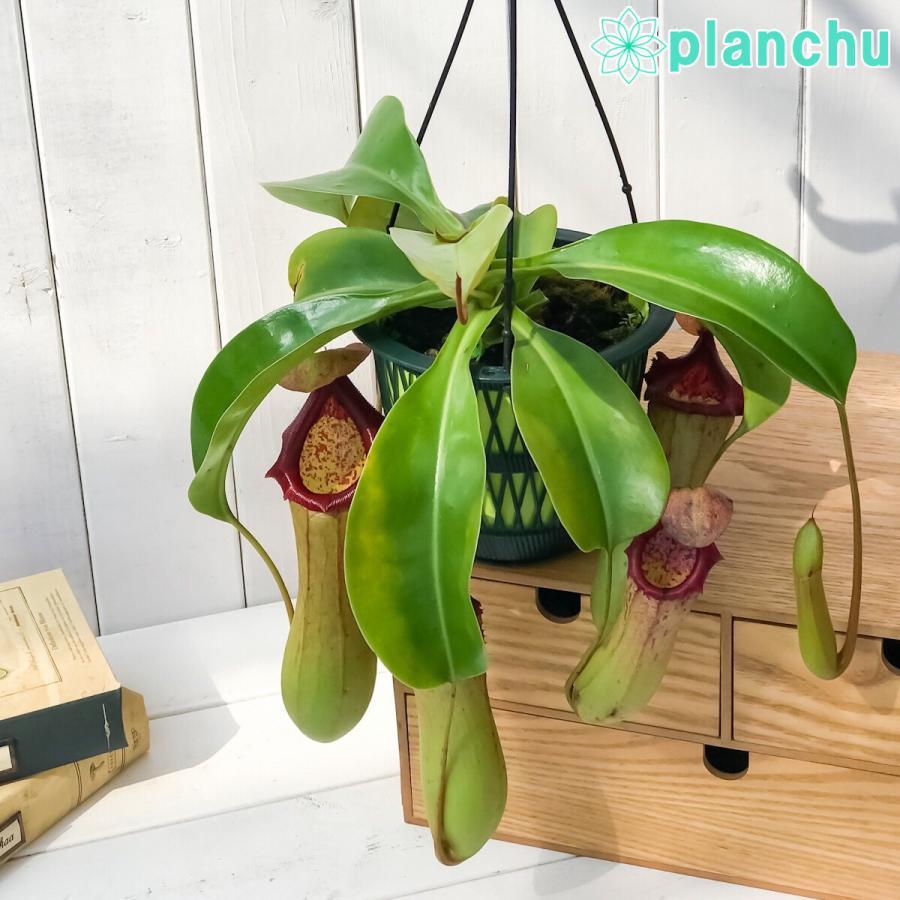 食虫植物 ウツボカズラ ネペンテス ベントリコーサ レッド × トランカータ 5号吊り鉢 Nepenthes ventricosa × truncata 育て方説明書付き|planchu|02