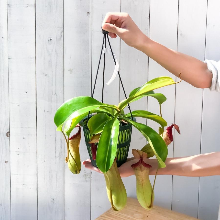 食虫植物 ウツボカズラ ネペンテス ベントリコーサ レッド × トランカータ 5号吊り鉢 Nepenthes ventricosa × truncata 育て方説明書付き|planchu|05