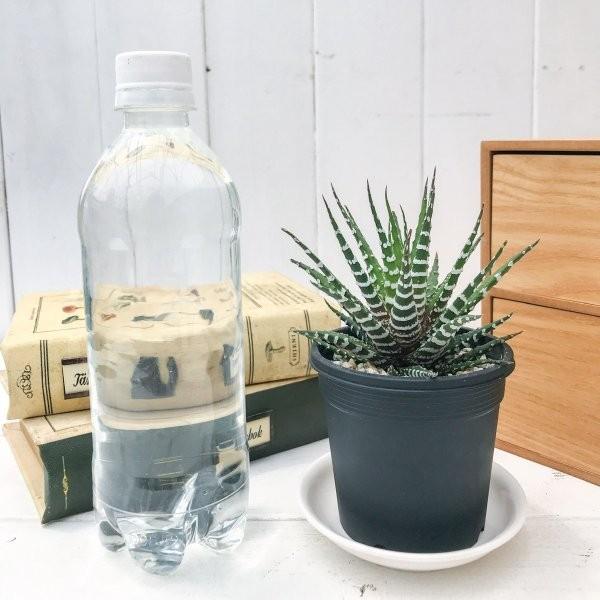 多肉植物 ハオルチオプシス チョベリバ 3号鉢 Haworthiopsis 'Choveriba' ハオルチア|planchu|03