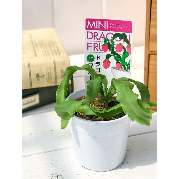 ミニドラゴンフルーツ エピフィラム フィランサス 2.5号鉢 Epiphyllum phyllanthus|planchu