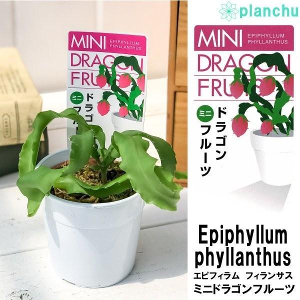 ミニドラゴンフルーツ エピフィラム フィランサス 2.5号鉢 Epiphyllum phyllanthus|planchu|02