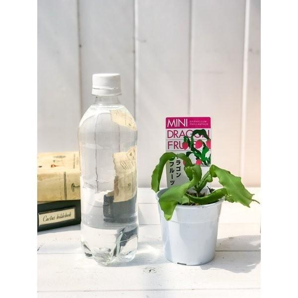 ミニドラゴンフルーツ エピフィラム フィランサス 2.5号鉢 Epiphyllum phyllanthus|planchu|05