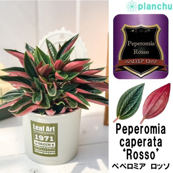 観葉植物 ペペロミア ロッソ 3.5号ポット 缶詰風鉢カバー付き 選べる鉢色 planchu