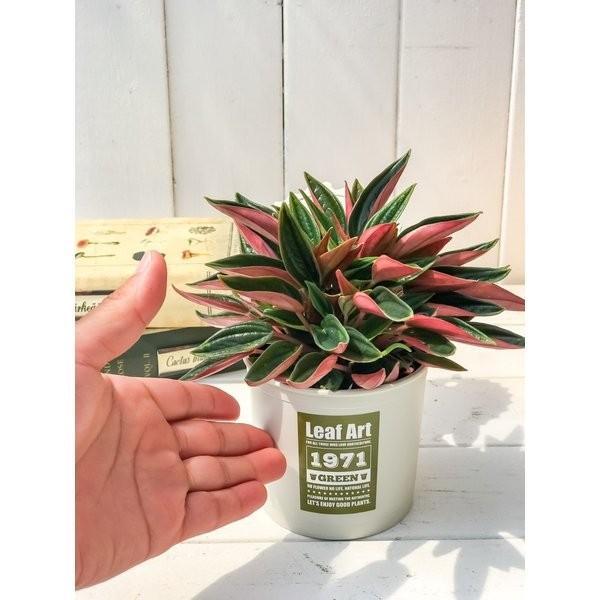 観葉植物 ペペロミア ロッソ 3.5号ポット 缶詰風鉢カバー付き 選べる鉢色 planchu 03