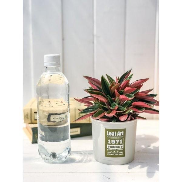 観葉植物 ペペロミア ロッソ 3.5号ポット 缶詰風鉢カバー付き 選べる鉢色 planchu 04