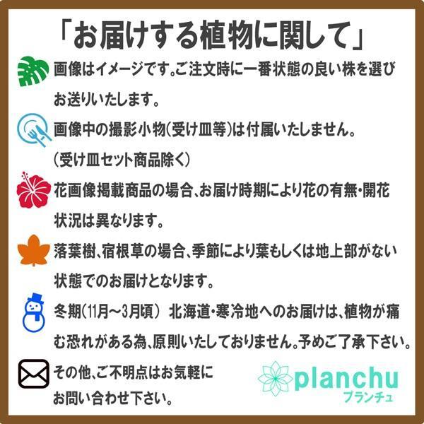 観葉植物 ペペロミア ロッソ 3.5号ポット 缶詰風鉢カバー付き 選べる鉢色 planchu 10