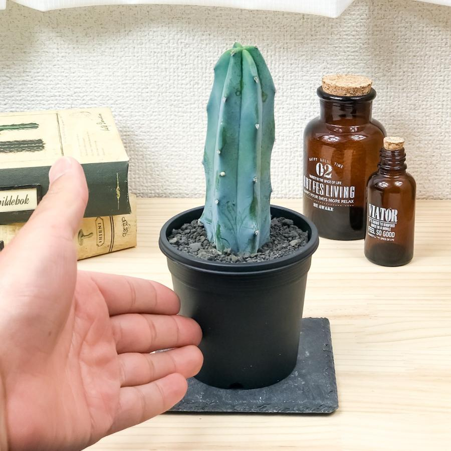 サボテン ミルチロカクタス 竜神木 りゅうじんぼく 3号鉢 Myrtillocactus geometrizans|planchu|02