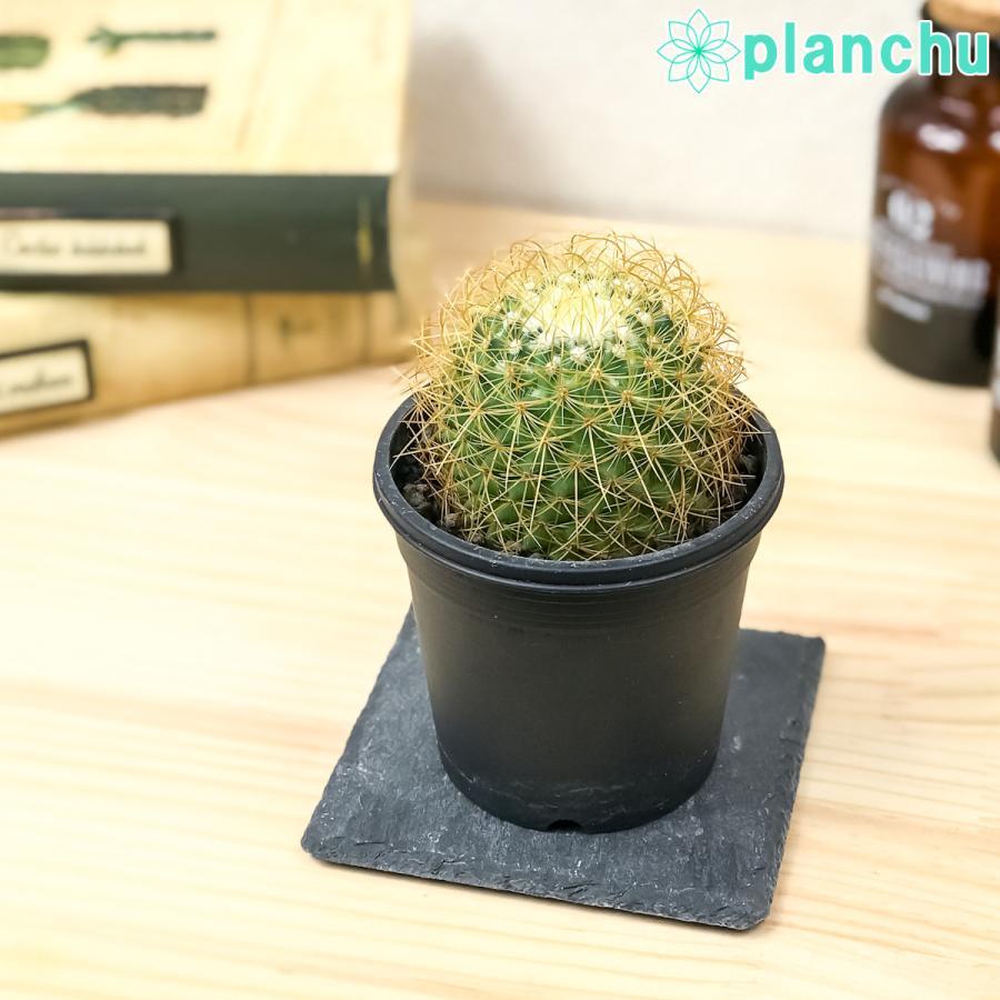 サボテン マミラリア 泉丸 いずみまる 3号鉢 Mammillaria|planchu