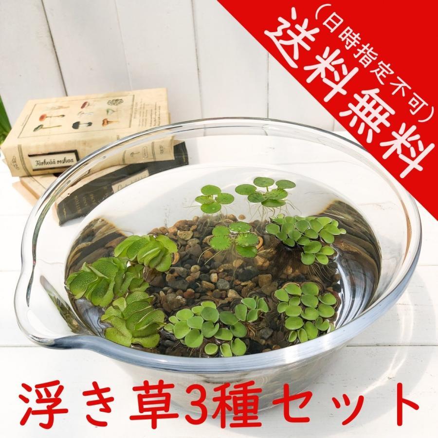 浮き草3種セット サルビニアククラータ ドワーフフロッグピット オオサンショウモ 送料無料 planchu