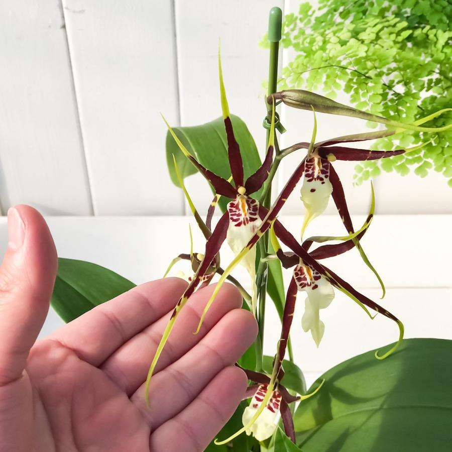 洋ラン オドントブラシア ブラックスパイダー 3.5号鉢 開花終了株 珍しい 希少種 かっこいい ブラッシア ブラシジューム スパイダーオーキッド planchu 04